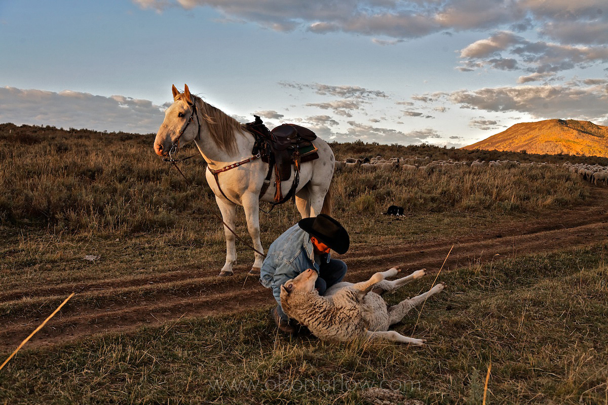 Adopted Mustang Works With Sheepherder
